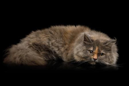 Short Munchkin Cat tortoise fur Lying on Isolated Black background