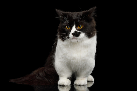 Short Munchkin Cat white legs, standing with angry face on Isolated Black background