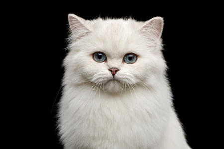 Portrait of British breed Cat, Pure White color with Blue eyes, looking in Camera on Isolated Black Background, front view