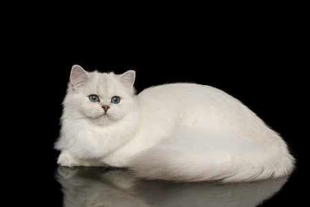 Cute British breed Cat, Beige color with Blue eyes, Lying and looks Curious on Isolated Black Background, side view Reklamní fotografie