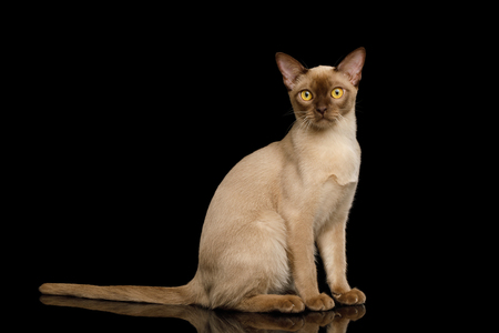 Adorable Brown Burma Cat Sitting and Curious Looking in Camera, isolated on black background