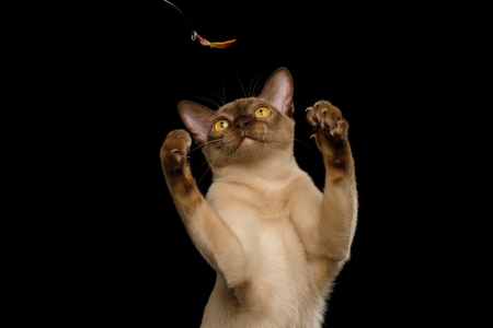 Cute Portrait of Playful Brown Burma Cat Raising up paws, play with toy, isolated on black background