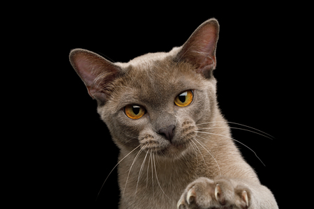 Portrait of Gray Burma Cat Raising paw with sharp claws isolated on black background, front view