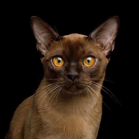 Portrait of Sable Burma Cat Stare in Camera isolated on black background, front view Banco de Imagens