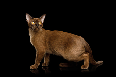 Adorable Sable Burma Cat Standing and Looking in Camera, isolated on black background, side view