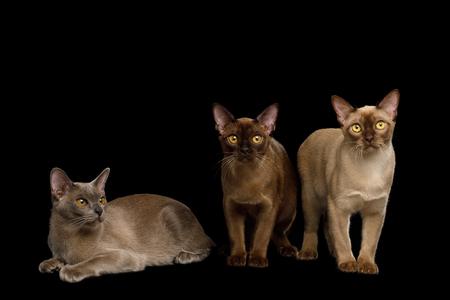 Three Burma Cats Standing and Looking in Camera, isolated on black background, front view