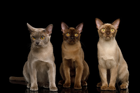 Three Burma Cats Sitting and Looking in Camera, isolated on black background, front view Reklamní fotografie
