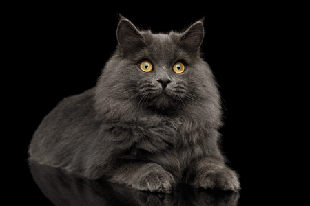 Furry Gray Cat Lying on Isolated black background with reflection