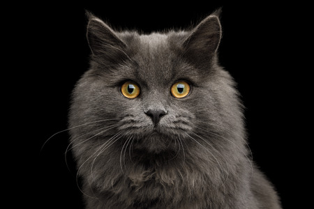 Portrait of Gray Cat Gazing up on Isolated Black Background, front view