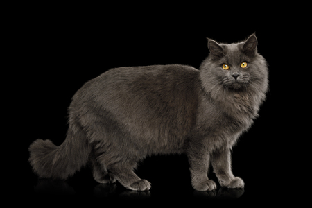 Gray Cat Standing full length and Looking in Camera on Isolated Black Background, side view