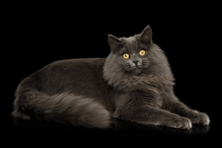 Furry Gray Cat Lying and Stare in camera on Isolated black background
