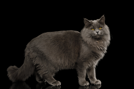 Gray Cat Standing full length and satisfied Looking in Camera on Isolated Black Background, side view Reklamní fotografie