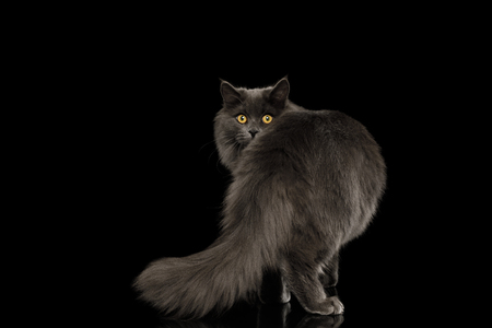 Furry Gray Cat Standing and Looking back, peeking from tail on Isolated Black Background