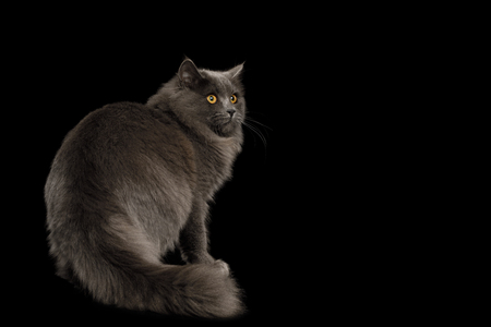 Furry Gray Cat Standing and Looking at side on Isolated Black Background, back view