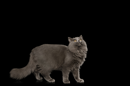 Gray Cat Standing full length and Looking up on Isolated Black Background, side view