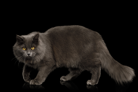 Gray Cat Stare and crouching on Isolated Black Background, side view Reklamní fotografie