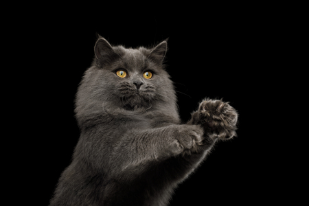 Portrait of Playful Gray Cat with stratched paws want catch on Isolated Black Background