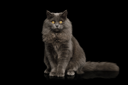 Furry Gray Cat Sitting and Looking in Camera on Isolated Black Background, front view Reklamní fotografie