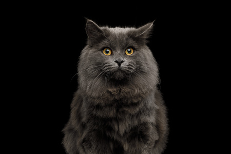 Portrait of Amazement Gray Cat with fear in eyes on Isolated Black Background Фото со стока
