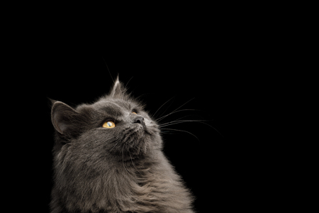 Portrait of Gray Cat Stare up on Isolated Black Background