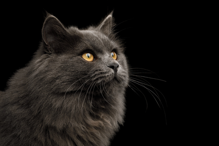 Portrait of Gray Cat Stare up on Isolated Black Background, profile view Reklamní fotografie