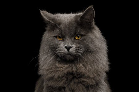Portrait of Offended Gray Cat Looking in camera on Isolated Black Background Reklamní fotografie