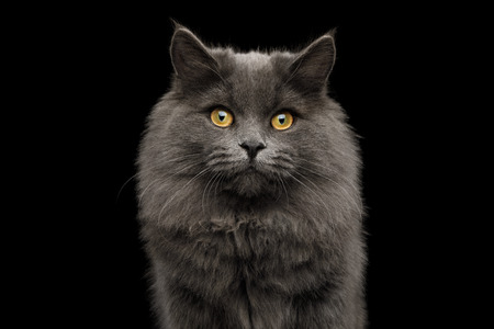 Portrait of Adorable Gray Cat Looking in camera on Isolated Black Background