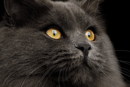 Closeup Portrait of Gray Cat Stare his yellow eyes on Isolated Black Background, profile view