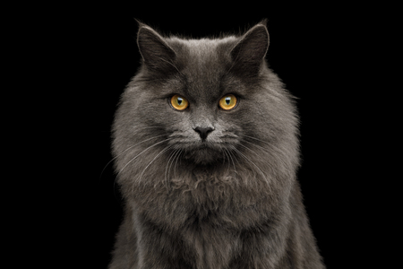 Portrait of Furry Gray Cat Gazing on Isolated Black Background, front view