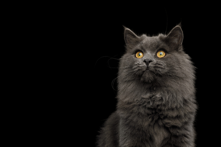 Portrait of Gray Cat Stare up on Isolated Black Background, front view