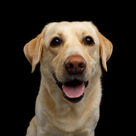 Funny Portrait of Labrador retriever dog Smiling and Looking in camera on isolated black background, front view Reklamní fotografie