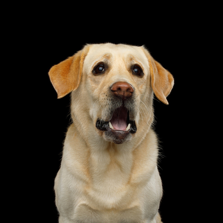 Funny Portrait of Surprised Labrador retriever dog Staring with opened mouth on isolated black background, front view