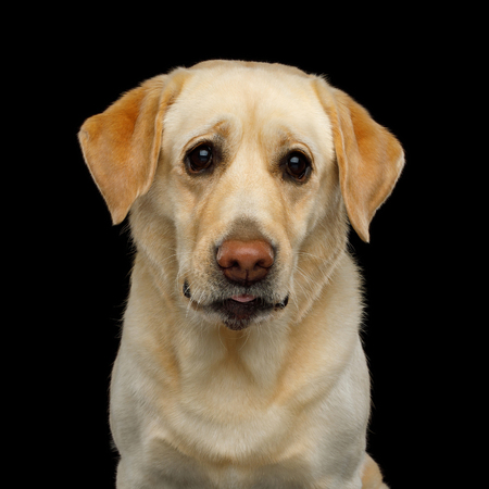Sad Portrait of Labrador retriever dog Staring with unhappy eyes on isolated black background, front view