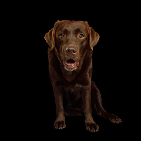 Funny Labrador retriever dog Sitting and Stare in camera on isolated black background, front view