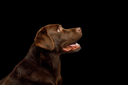 Funny Portrait of Happy Labrador retriever dog Looking up on isolated black background, profile view Reklamní fotografie