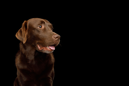 Funny Portrait of Happy Labrador retriever dog Looking up on isolated black background, front view