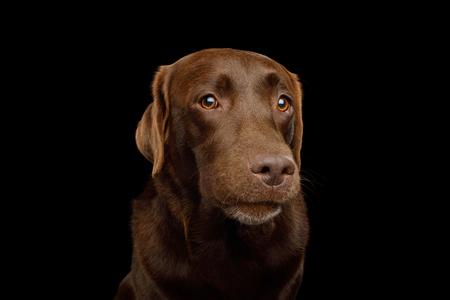Funny Portrait of Curious Labrador retriever dog Gazing on isolated black background, front view