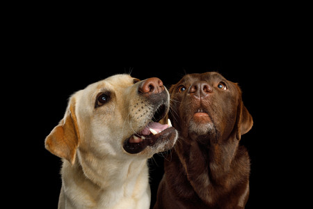 Closeup Portrait of Labrador retriever dogs Staring up and sniffing on isolated black background