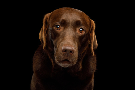 Funny Portrait of Amazement Labrador retriever dog Gazing on isolated black background, front view