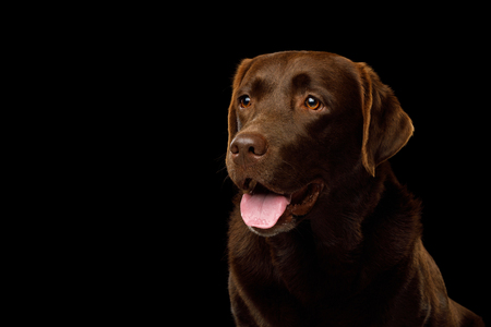 Funny Portrait of Happy Labrador retriever dog smiling on isolated black background, profile view