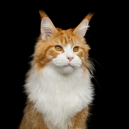 Adorable Portrait of Ginger Maine Coon Cat with white chest Isolated on Black Background Reklamní fotografie