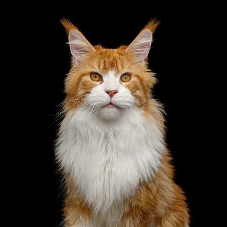 Adorable Portrait of Ginger Maine Coon Cat with white chest Stare in Camera Isolated on Black Background