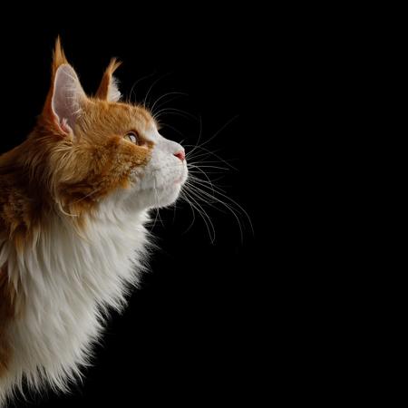 Portrait de Ginger Maine Coon Cat avec poitrine blanche regarder à côté isolé sur fond noir, vue de profil