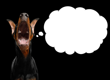 Funny Portrait of Doberman Dog with Opened mouth Asking Food with white Cloud for text isolated Black background