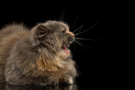 Afraid Munchkin Cat tortoise fur, lying and hiss at side isolated black background Reklamní fotografie