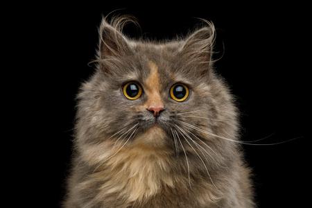Retrato de piel de tortuga gato Munchkin lindo, con ojos grandes aislado sobre fondo negro, vista frontal