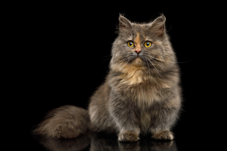 Cute Munchkin Cat tortoise fur isolated on black background, front view