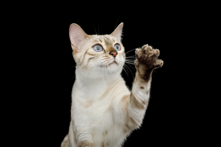 Portrait of Snow White Bengal Cat with Blue eyes Raising up paw, want touch, on isolated Black Background, front view
