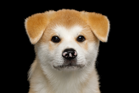 Portrait of Sad Akita Inu Puppy with Spotted nose on Isolated Black Background, front view