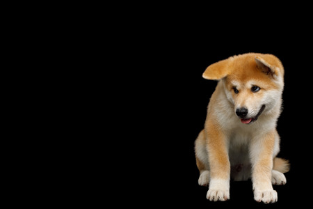 Shy Akita Inu Puppy Sitting with head down on Isolated Black Background, front view